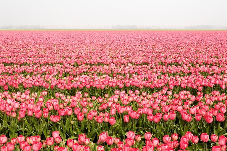 Tulips at Noordoostpolder | © Daoud Alahmad / Flickr