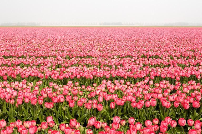Tulip fields on Noordoostpolder