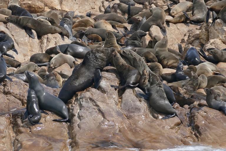 South African Fur Seals (Arctocephalus pusillus)