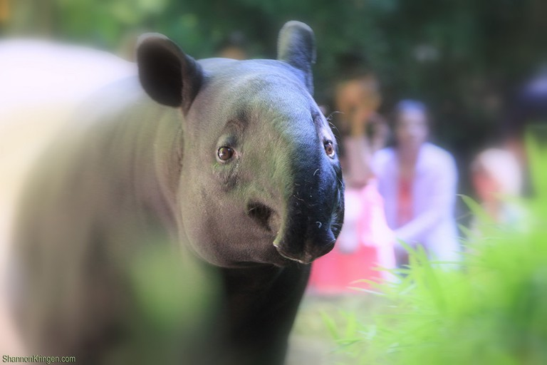 Malayan Tapir | © Shannon Kringen / Flickr