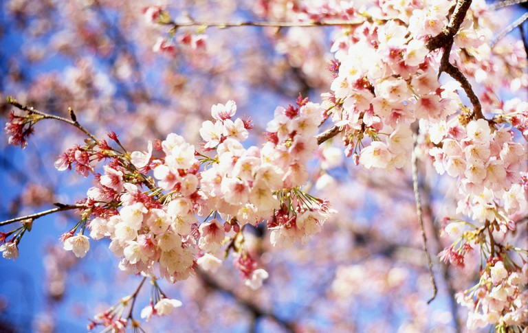 Cherry blossoms in bloom | © mrhayata/Flickr