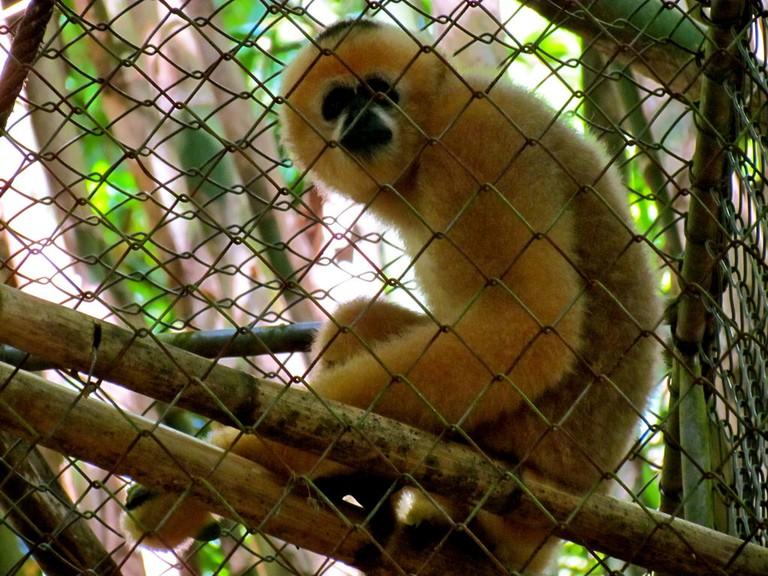 Phuket, Thailand Gibbon Rehabilitation Project