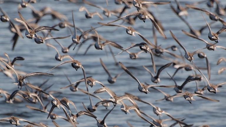 Dunlins in flight | © coniferconifer / Flickr
