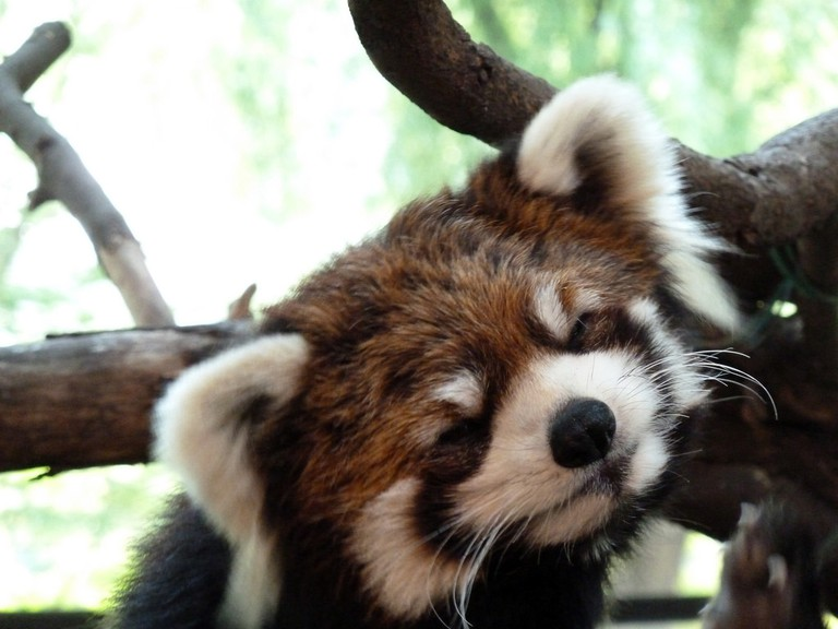 A red panda living in Ueno Zoo | © Bob Young/Flickr