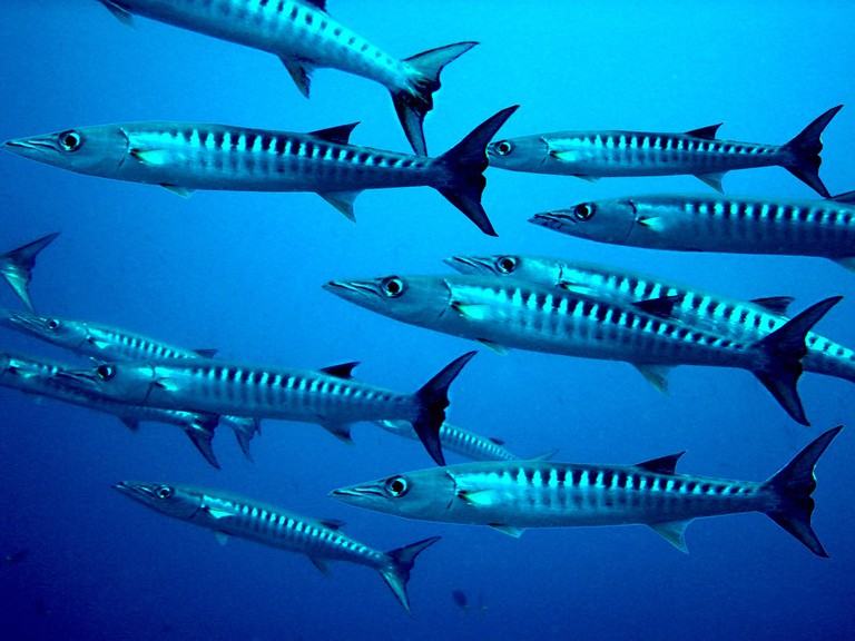 Freeport is popular for game fishing, including barracudas