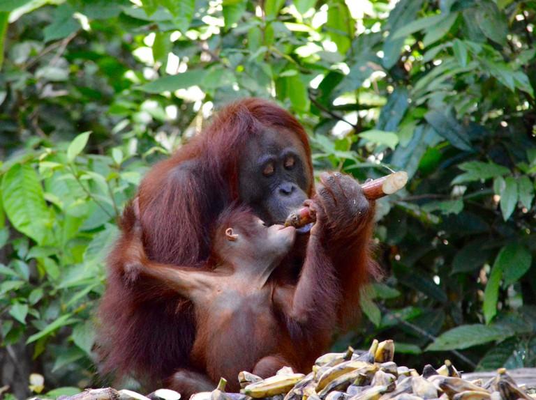 Wild Orangutans| © Nikki Vargas