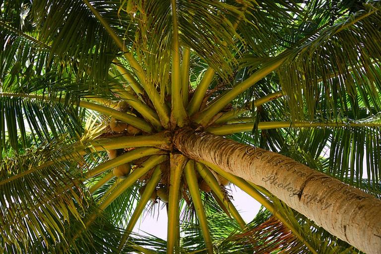 Coconut Tree, (c) Arcelous Lu / Flickr