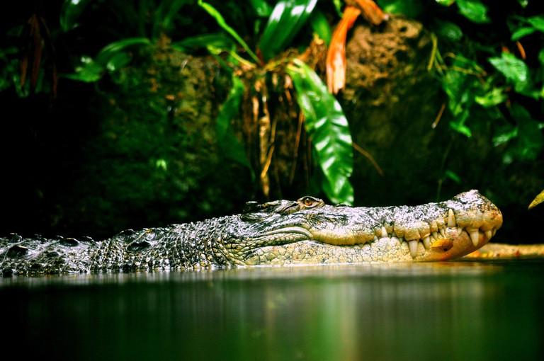 Crocodile | © Joseph82/Pixabay
