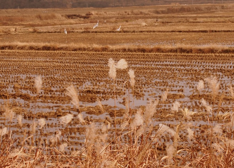 Migratory birds in Cheorwon
