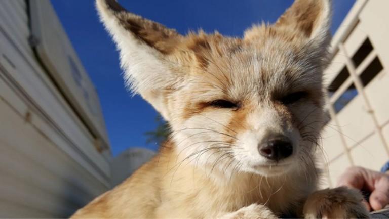 Dobby the Fennec Fox|Courtesy of Animal Tracks