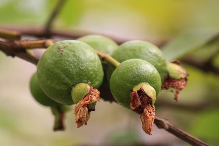 The guava fruit|© Ashish_Choudhary/Pixabay