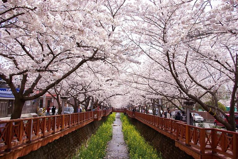 Gunhangje Canal Spring Jinhae Cherry Blossom City