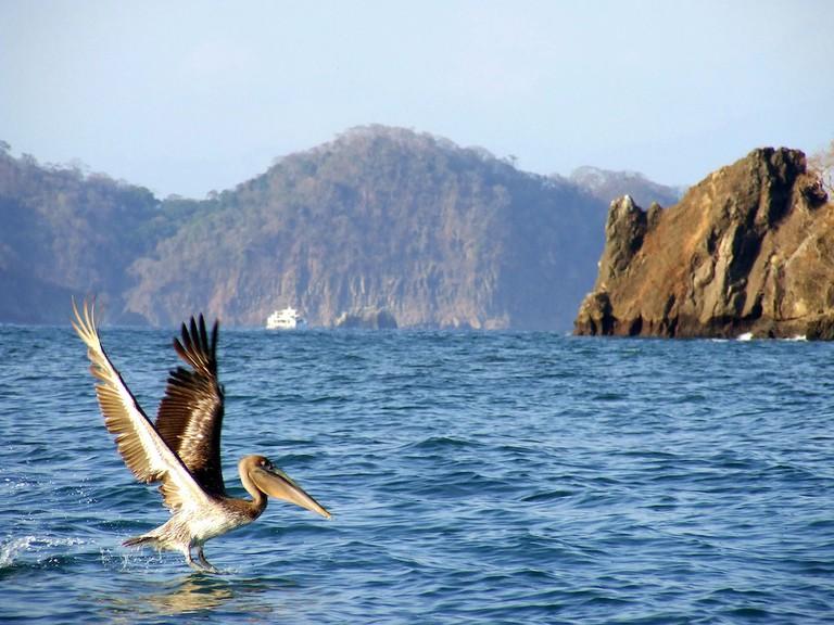 Pelican, Tortuga Island, Costa Rica