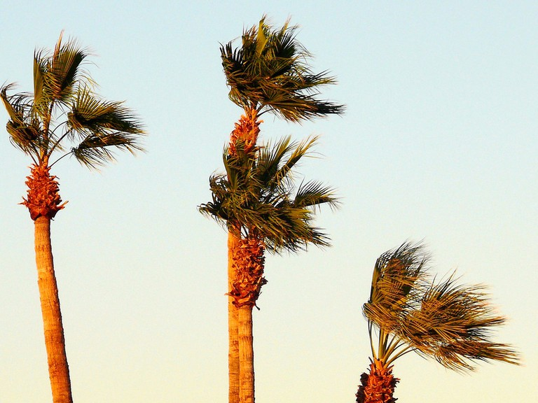 Palm Trees blowing in the wind|©Larry & Teddy Page/Flickr