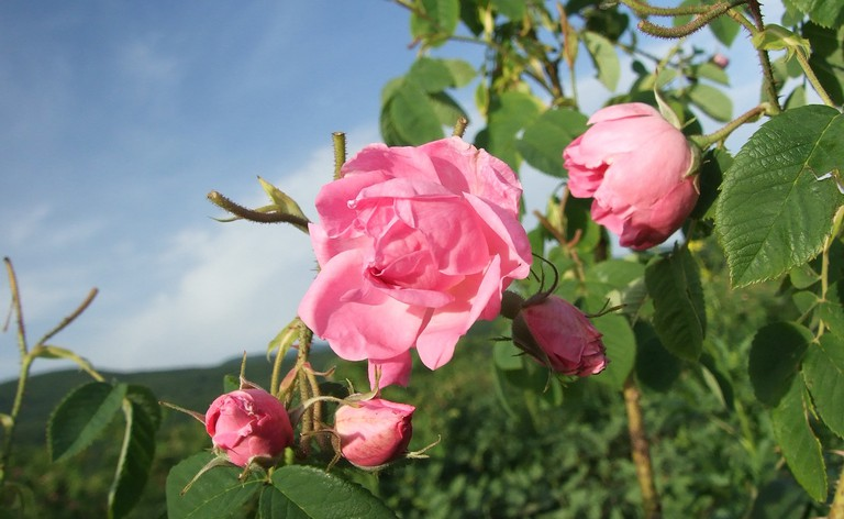 Roses from the Rose Valley in Bulgaira |© MrPanyGoff/WikiCommons