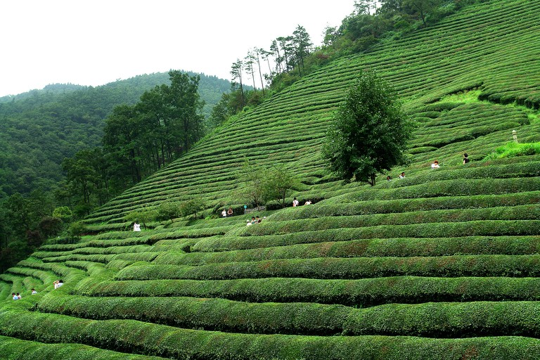 Daehan Dawon's green tea fields | © Yeongcheol Lee / Flickr
