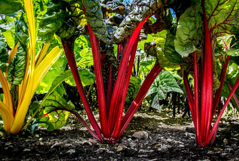 Food in the Field category: Swiss Chard Forest