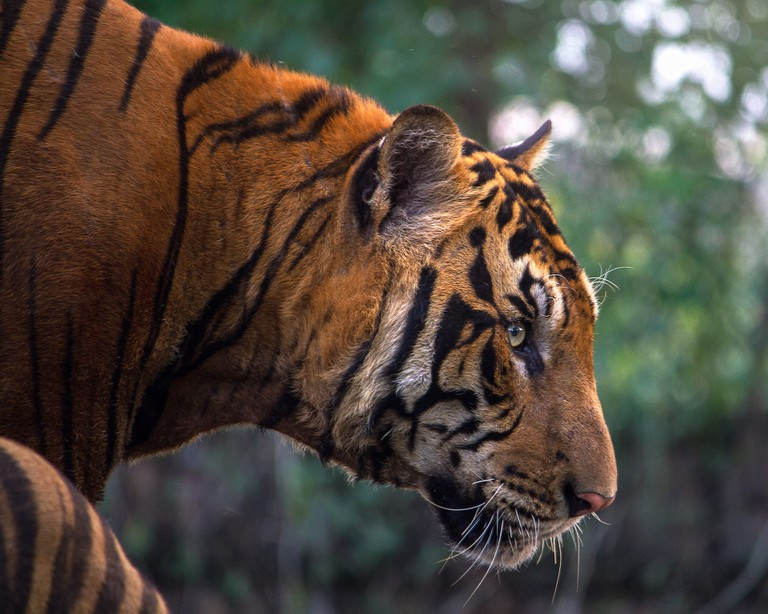 Tiger | © Pixabay