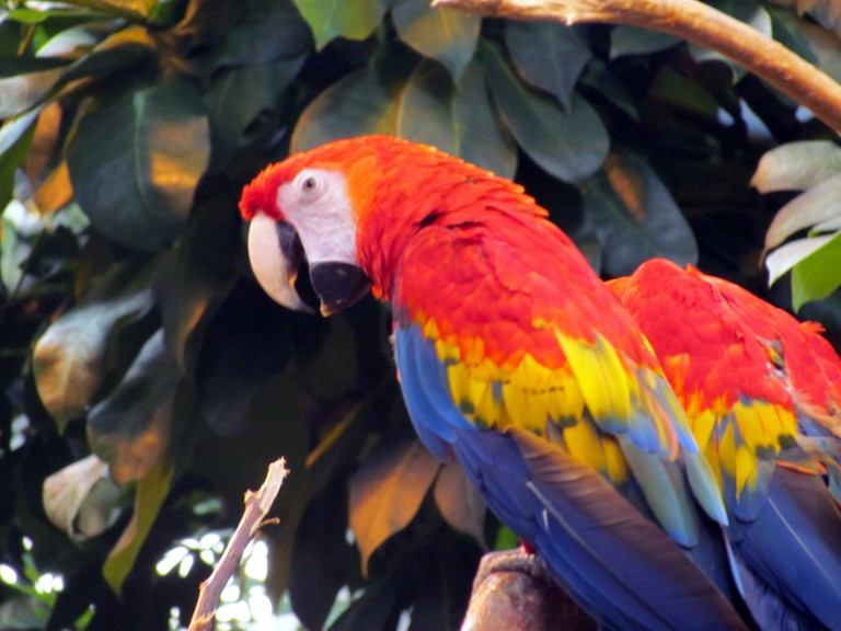 Scarlet Macaw at the Montreal Biodome