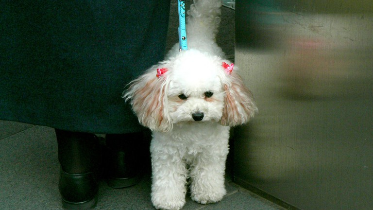 Poodle with Dyed Ears, Not an Uncommon Sight in China