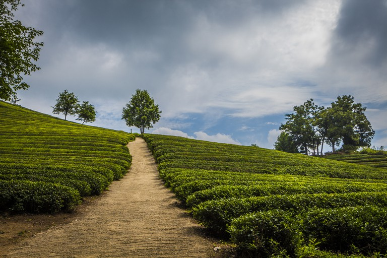 The endless slopes of beautiful tea trees presents visitors with one of the most picturesque scenes in all of Korea