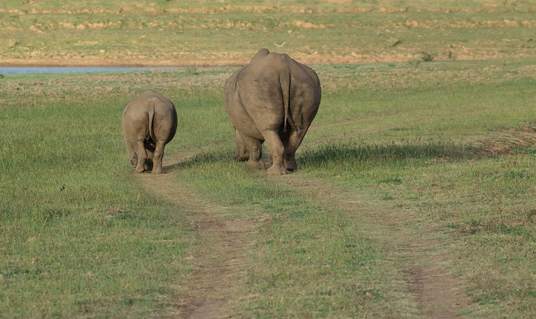 A mother and baby rhino go for a walk
