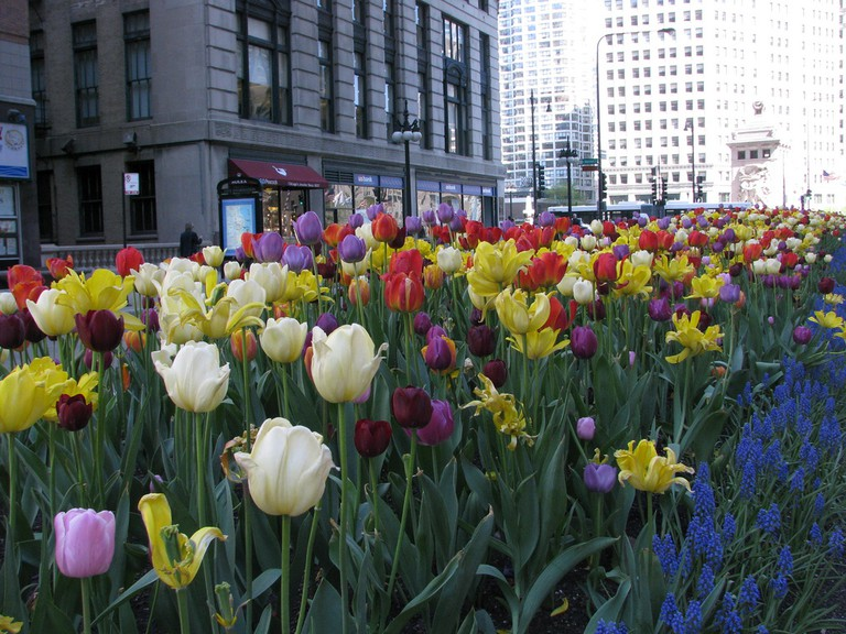 The blooms unite the north and south ends of Michigan Ave | © Dan Perry/Flickr