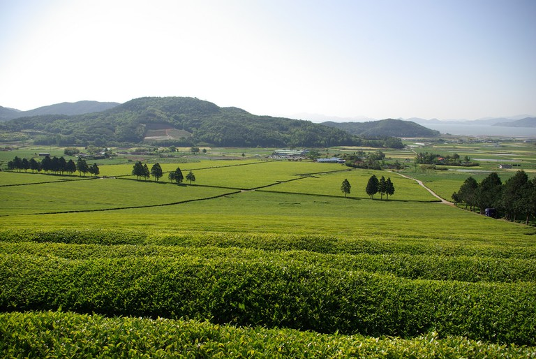 Boseong's tea fields date back to 1937, when the first tea trees were planted by Japanese colonialists