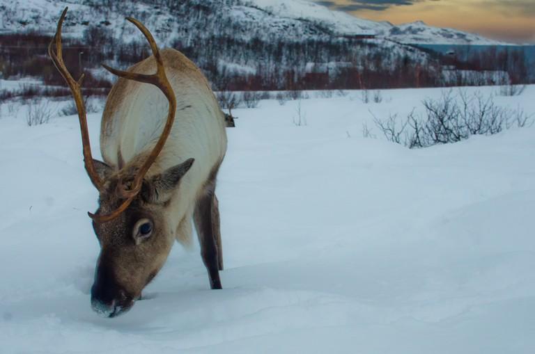 Reindeer | © Andi Gentsch / Flickr