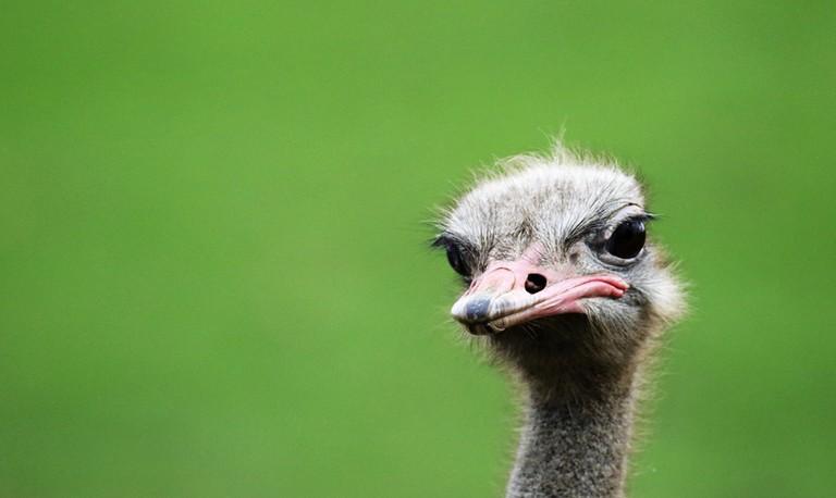 Ostrich | © KDS Photos / Pixabay