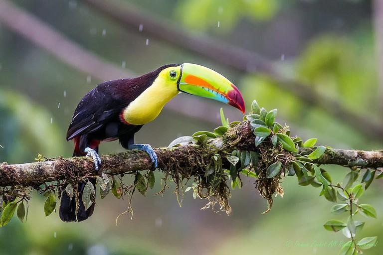 Keep billed toucan