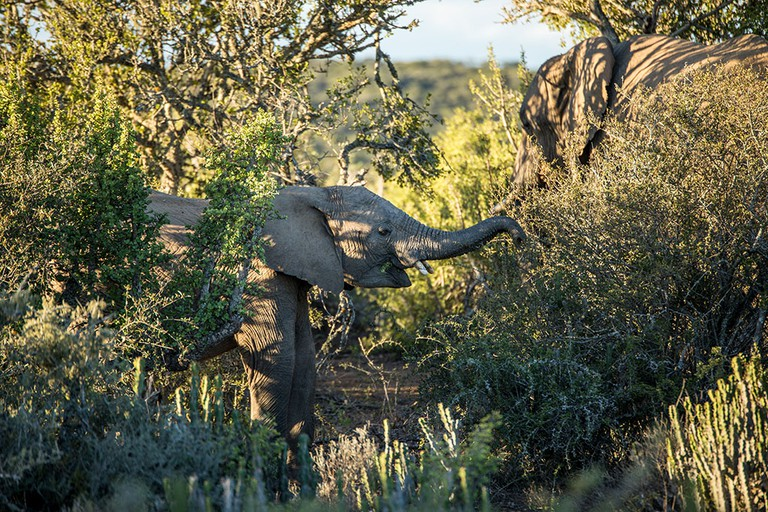 A baby elephant feeds on the rich vegetation and sweet leaves