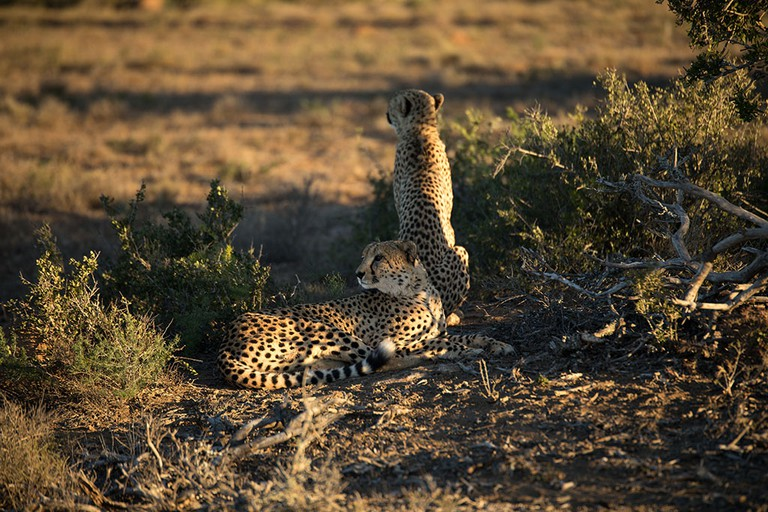 A coalition of cheetah relaxing before a hunt