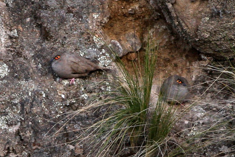Moreno's Ground-Dove