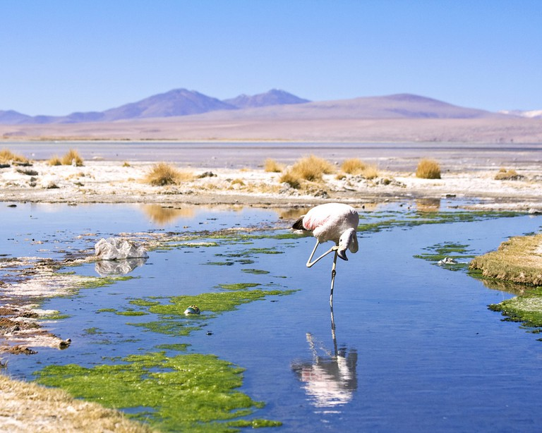 An Andean Flamingo in Bolivia