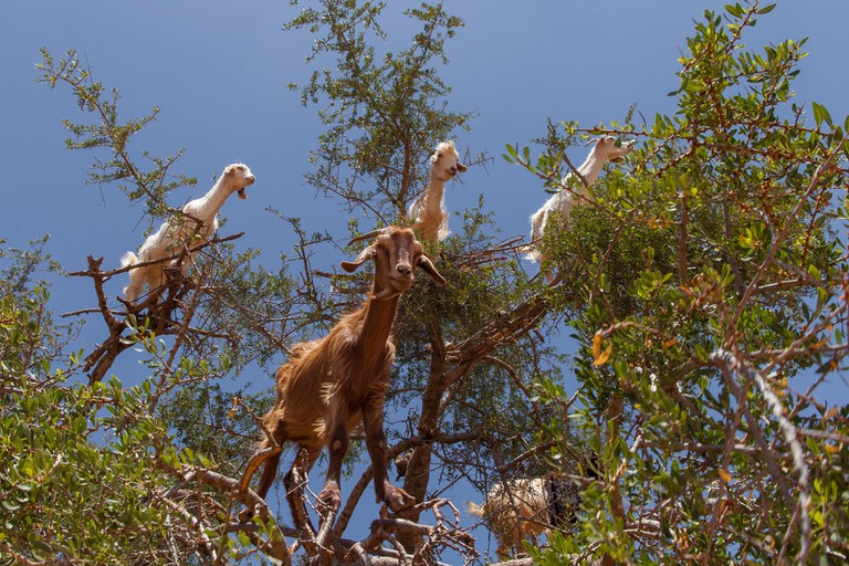 Goats in trees, Morocco