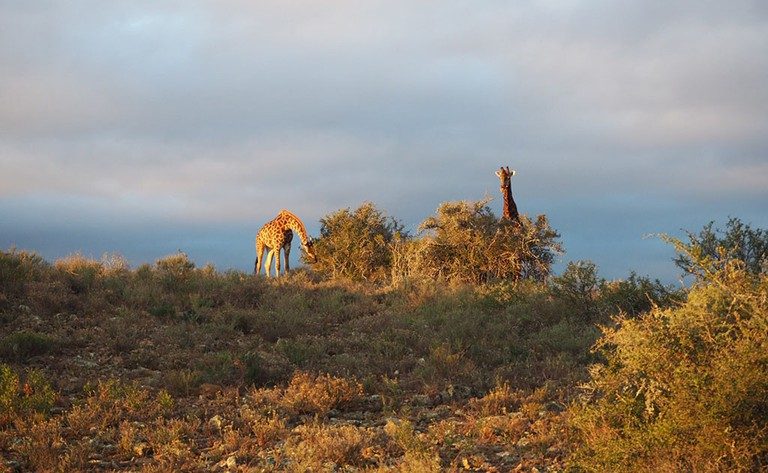 A journey of giraffes feeding in the evening sun