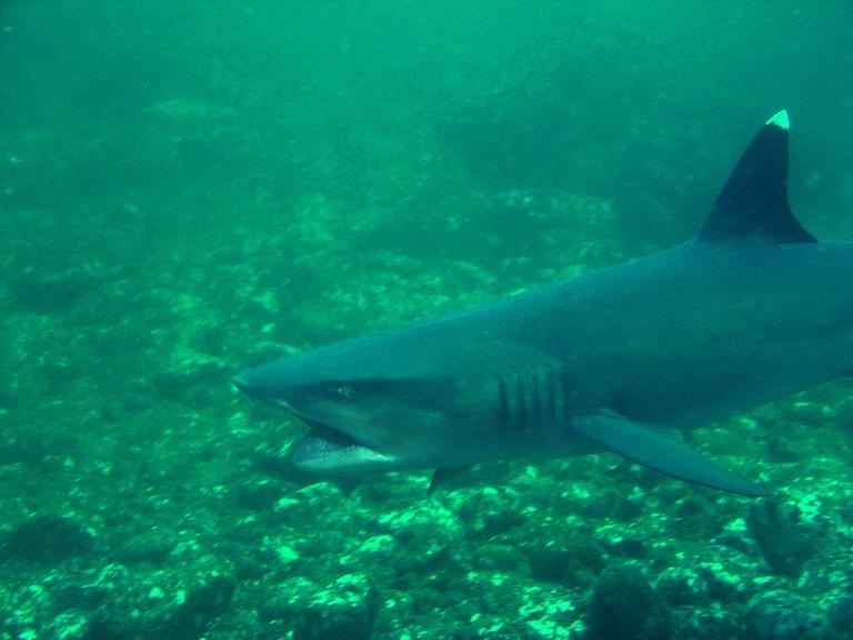 Sharks are an island resident