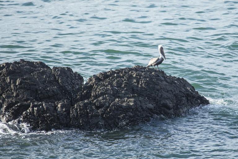 A lone pelican contemplating life