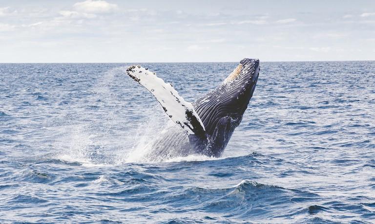 Whale   © Thomas kelley/ Unsplash