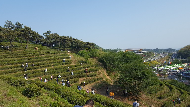 Picking tea leaves at the Boseong Green Tea Festival