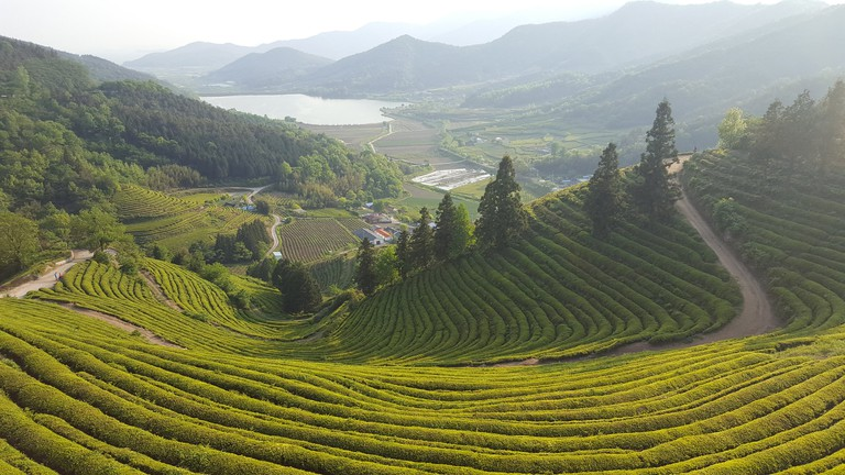 The Hadong and Boseong regions are home to environments that are favorable to green tea production