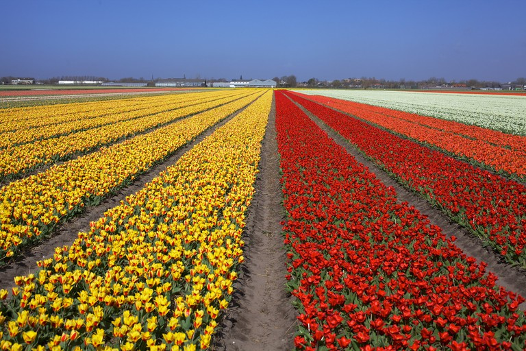 It's possible to grow your own Dutch tulips at home by buying bulbs in the Netherlands