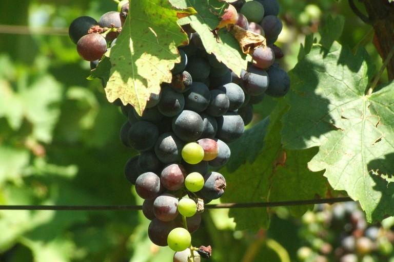 Wine grapes in Villány, Hungary