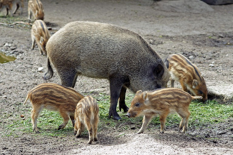 Boar and piglets at Ähtäri Zoo
