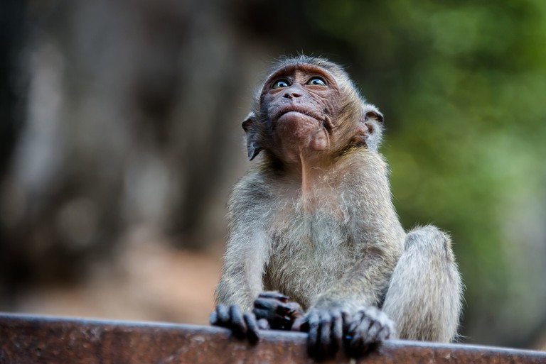 Crab-eating macaque in Krabi, Thailand