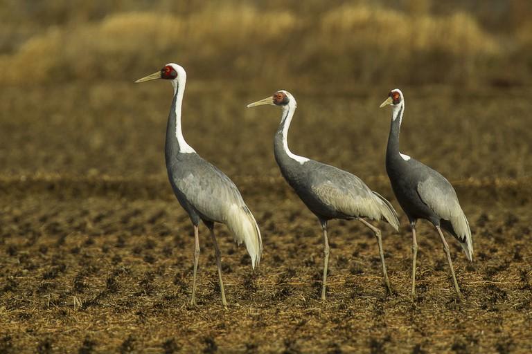 A trio of white-naped cranes