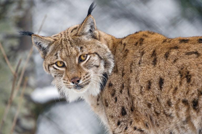 A male lynx