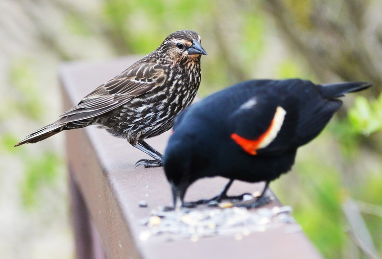 Female and Male Red-winged Blackbirds