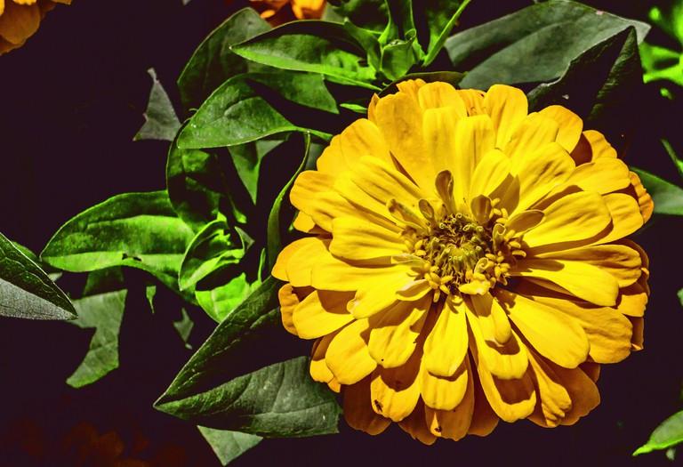 Zinnia, part of the sunflower family